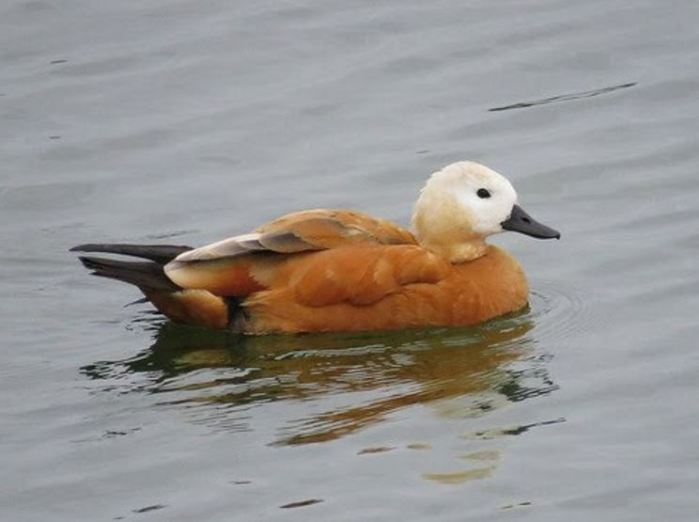 Ruddy Shelduck, Pitsford Res, 26th September 2016 (Alan Francis)