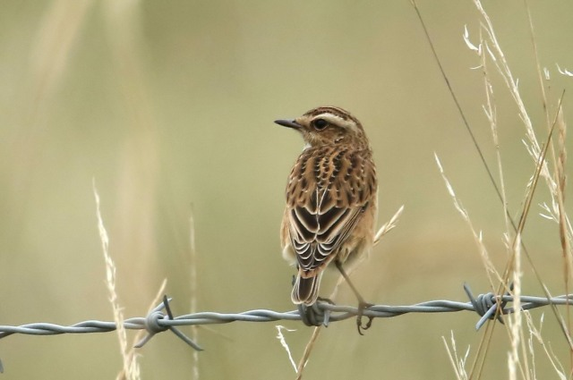 Whinchat, Clifford Hill GP, 6th September 2016 (Bob Bullock)