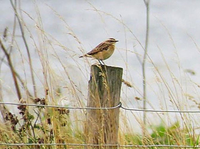 Whinchat, Sywell CP, 2nd September 2016 (Alan Francis)
