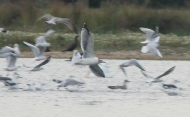 Adult Azorean Gull, Stanwick GP, 27th September 2013 (Martin Elliott)