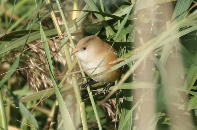 Female Bearded Tit, Stortons GP, 8th October 2016 (Bob Bullock)