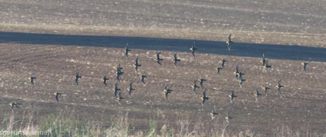 Golden Plovers, Harrington AF, 9th October 2016 (Martin Swannell)