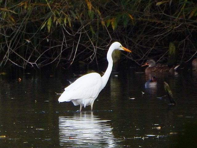 Great White Egret, Deene Lake, 23rd October 2016 (James Underwood)
