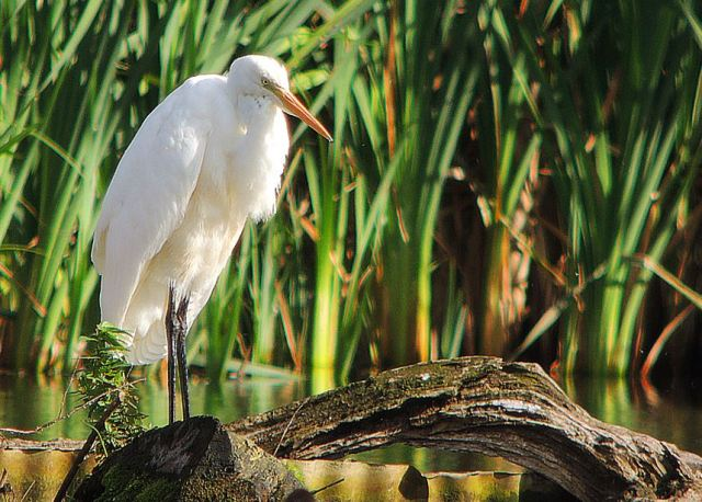 Great White Egret, Deene Lake, 2nd October 2016 (Mike Alibone)