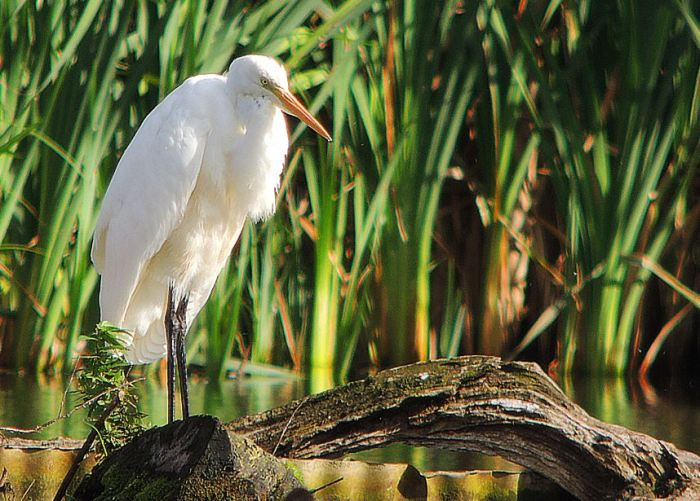 Great White Egret, Deene Lake, 2nd October 2016 (Mike Alibone)