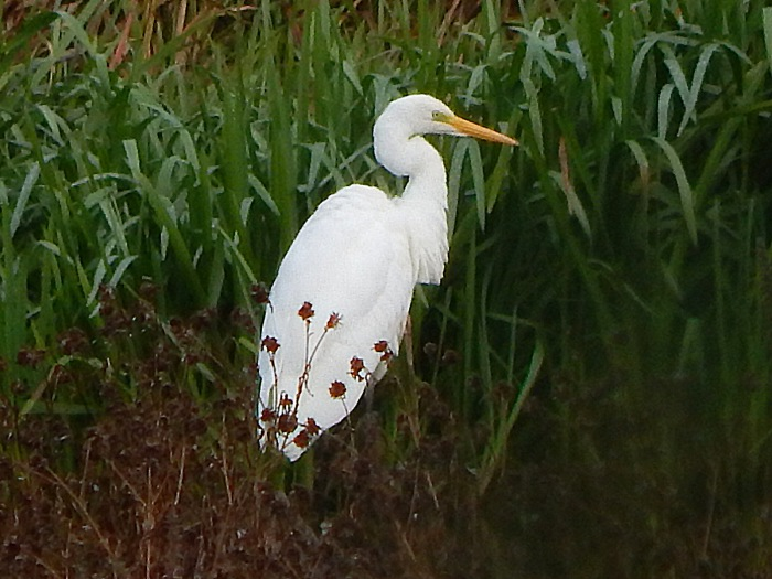 Great White Egret, Deene Lake, 9th October 2016 (James Underwood)