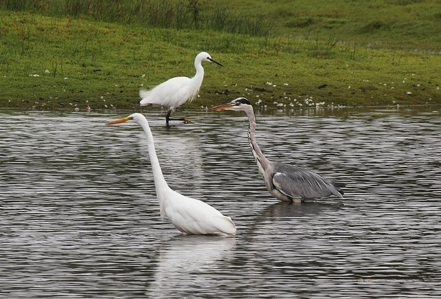 Great White Egret, Summer Leys LNR (Terry Armstrong)