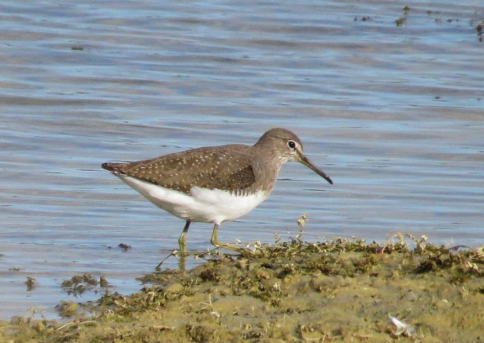 Green Sandpiper, Pitsford Res, 6th October 2016 (Alan Francis)