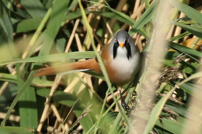 Male Bearded Tit, Stortons GP, 8th October 2016 (Bob Bullock)