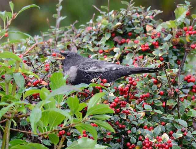 Male Ring Ouzel, Northampton, 16th October 2016 (David & Sally Irven)