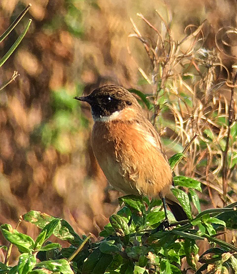Male Stonechat, Stanford Res, 2nd October 2016 (Chris Hubbard)