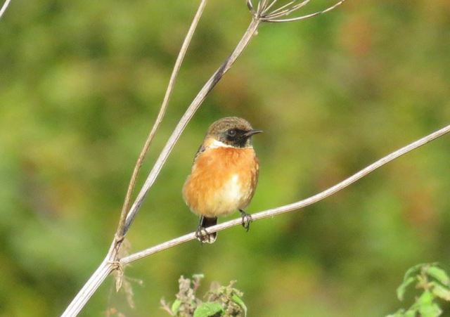 Male Stonechat, Sywell CP, 17th October 2016 (Alan Francis)