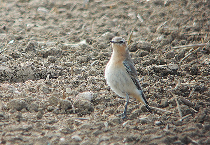 Northern Wheatear, Preston Deanery, 9th October 2016 (Mike Alibone)