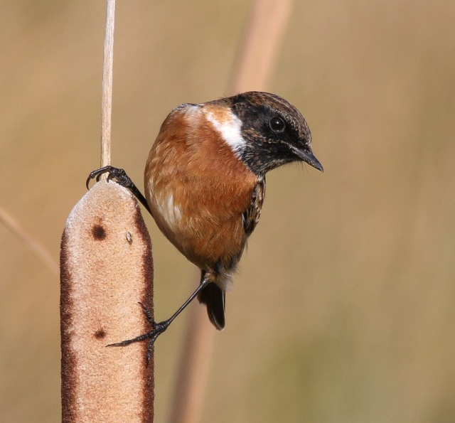 Male Stonechat, Summer Leys LNR, 287th October 2016 (Ricky Sinfield)