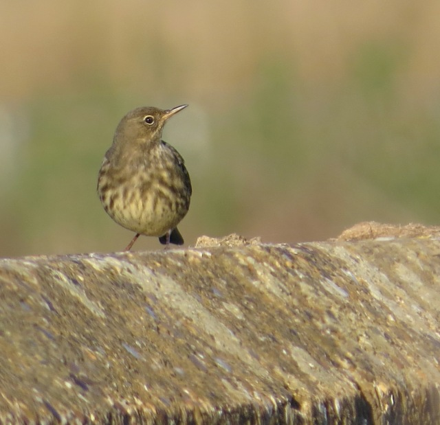 Rock Pipit, Hollowell Res, 3rd October 2016 (Cathy Ryden)