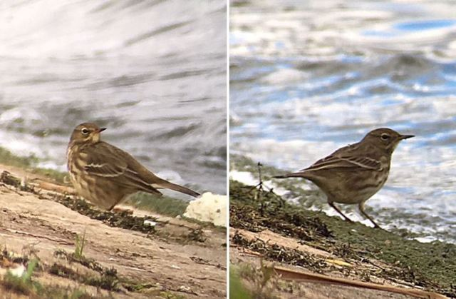 Rock Pipit, Stanford Res, 9th October 2016 (Chris Hubbard)