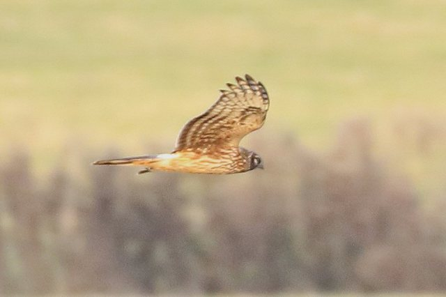 Juvenile male Hen Harrier, Stanford Res, 23rd November 2016 (Bob Bullock)