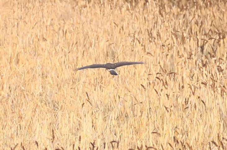 Juvenile male Hen Harrier, Stanford Res, 23rd November 2016 (Bob Bullock)