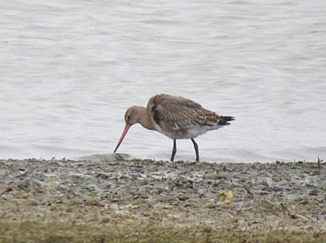 Black-tailed Godwit, Pitsford Res, 20th November 2016 (Adrian Borley). One of three present on this date.