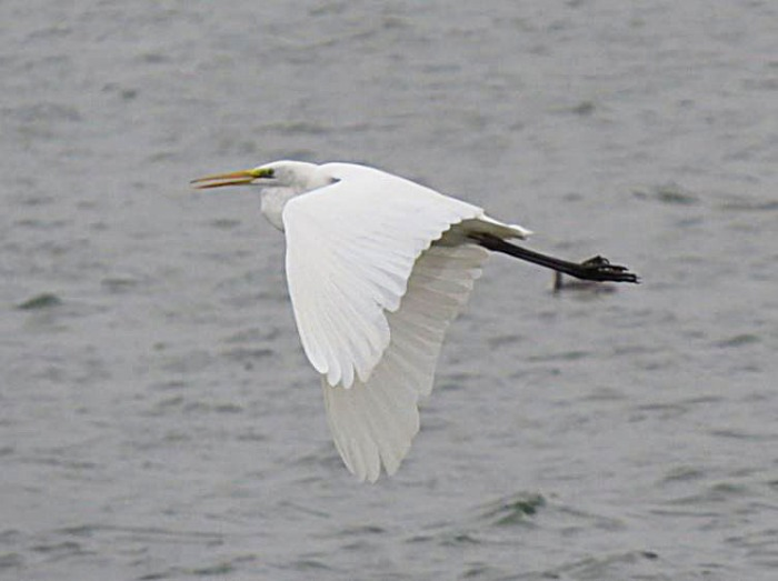 Great White Egret, Pitsford Res, 20th November 2016 (Adrian Borley)