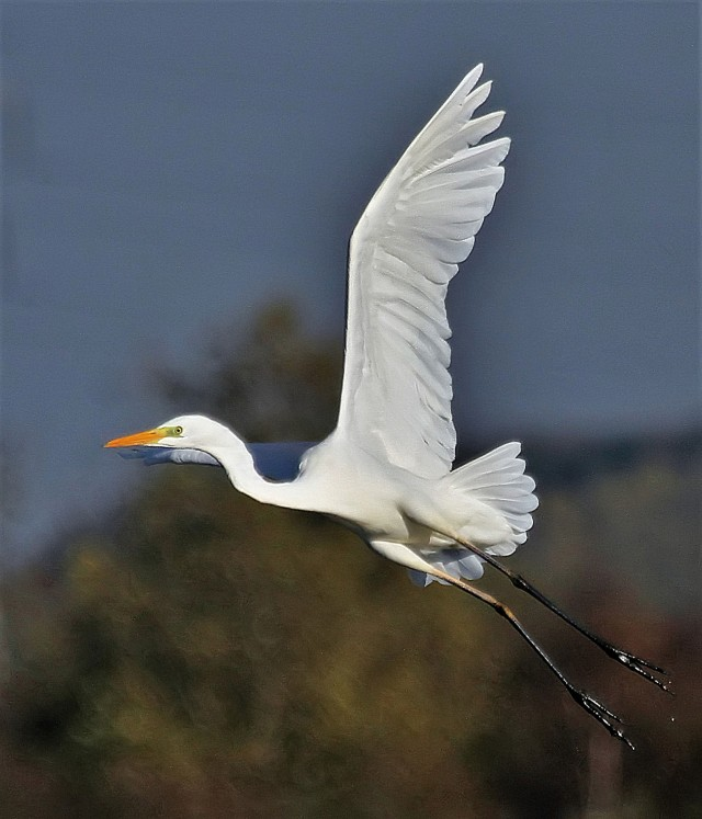 Great White Egret, Summer Leys LNR, 11th November 2016 (Alan Coles)