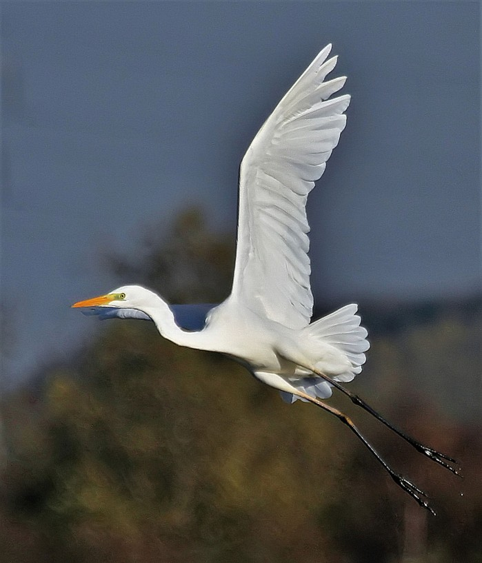 Great White Egret, Summer Leys LNR, 11th November 2016 (Alan Coles)