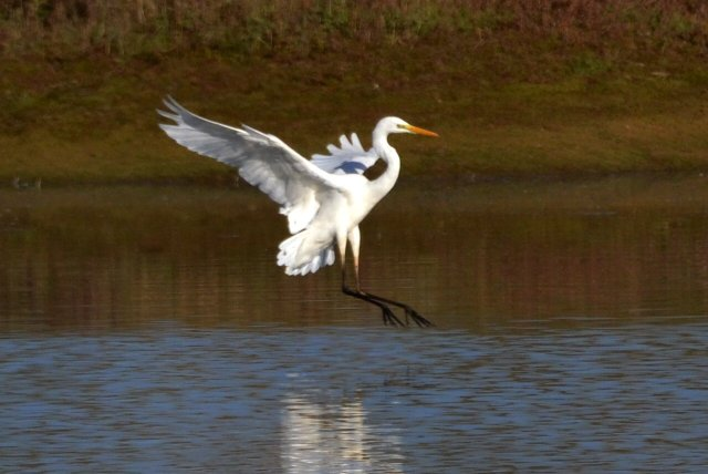 Great White Egret, Summer Leys LNR, 11th November 2016 (Stuart Mundy)