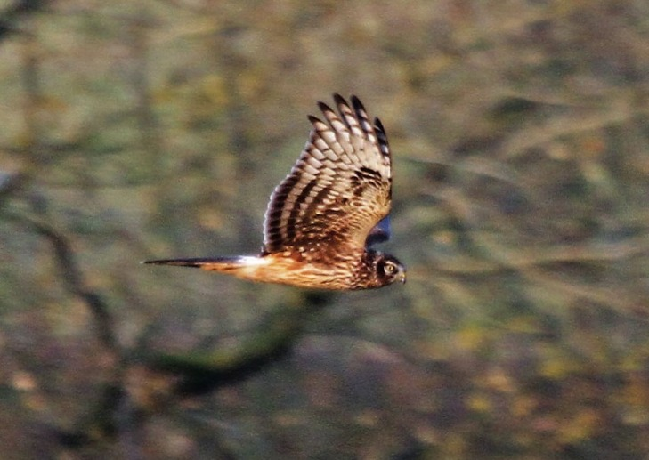Juvenile male Hen Harrier, Stanford Res, 23rd November 2016 (Alan Coles)