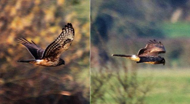 Juvenile male Hen Harrier, Stanford Res, 23rd November 2016 (Alan Coles)