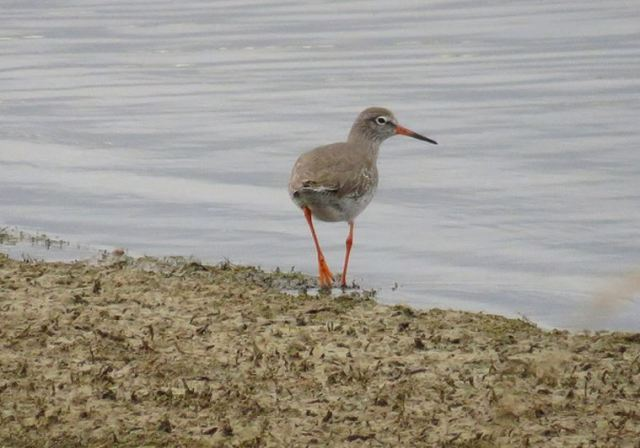 Redshank, Pitsford Res, 16th November 2016 (Alan Francis)