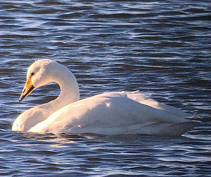 Whooper Swan, Stanford Res, 18th November 2016 (Chris Hubbard)