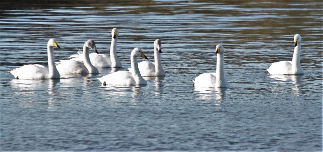 Whooper Swans, Stanford Res, 18th November 2016 (Alan Coles)
