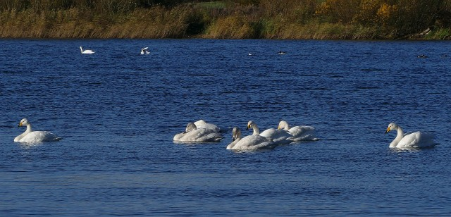 Whooper Swans, Stanford Res, 18th November 2016 (Martin Dove)