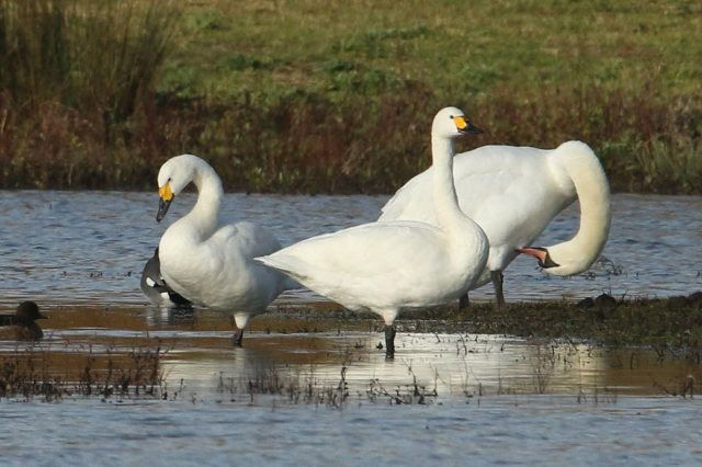 Adult Bewick's Swans, Summer Leys LNR, 26th November 2016 (Bob Bullock)