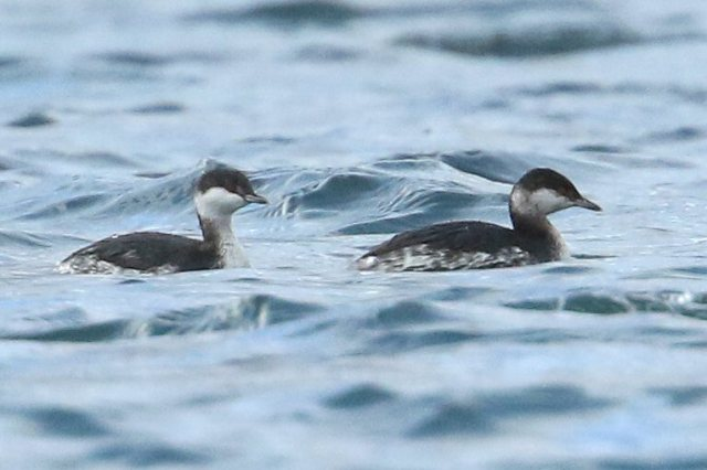 Adult (left) and first-winter Slavonian Grebes, Clifford Hill GP, 27th November 2016 (Bob Bullock)