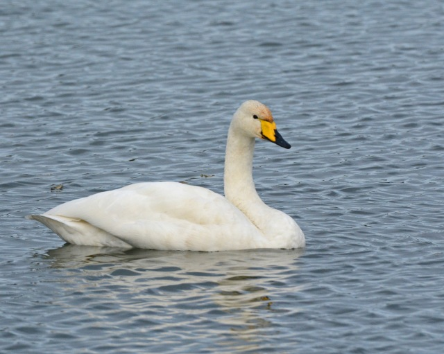 Adult Whooper Swan, Sywell CP, 3rd December 2016 (Clive Bowley)