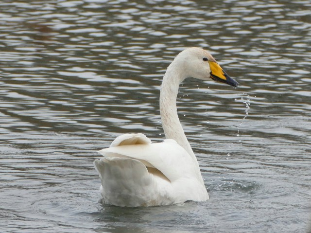Adult Whooper Swan, Sywell CP, 7th December 2016 (Martin Dove)