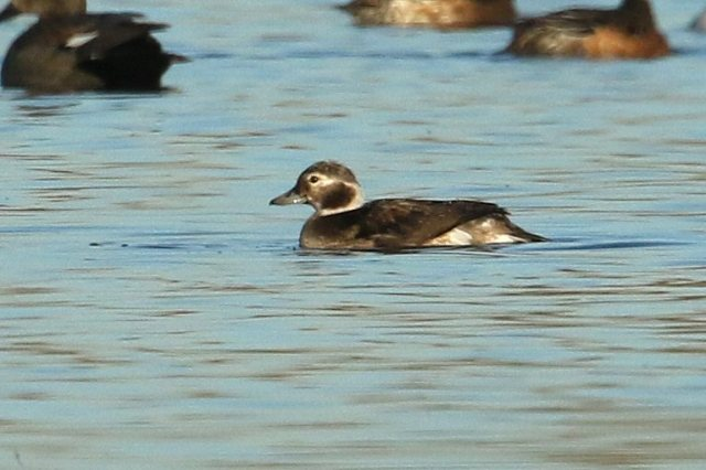 Female Long-tailed Duck, Earls Barton GP, 29th November 2016 (Bob Bullock)