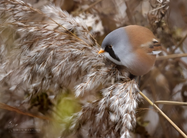 Male Bearded Tit, Stanwick GP, 9th December 2016 (Simon Wantling)
