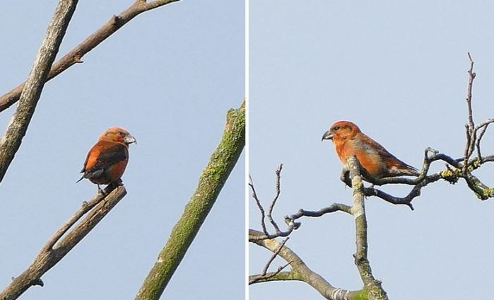 Male Crossbill, Fineshade Wood, 11th December 2016 (Martin Dove)