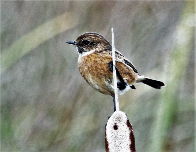 Male Stonechat, Summer Leys LNR, 9th December 2016 (Alan Coles). This species is enjoying a 'good' winter locally, with many records in the period including a maximum of 5+ at Hollowell Res on 9th.