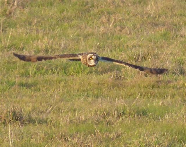 Short-eared Owl, Neville's Lodge, Finedon, 20th December 2016 (Geof Douglas)