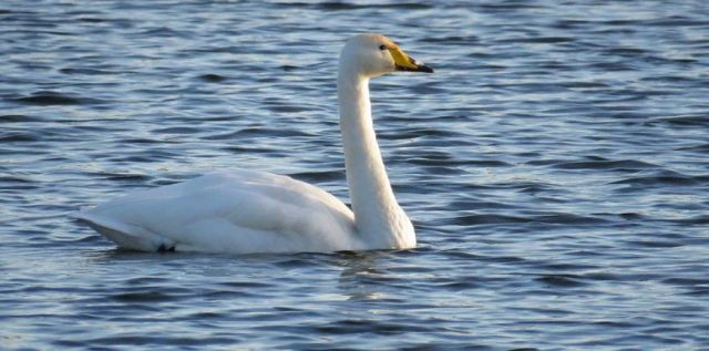Whooper Swan, Sywell CP, 14th December 2016 (Alan Francis)