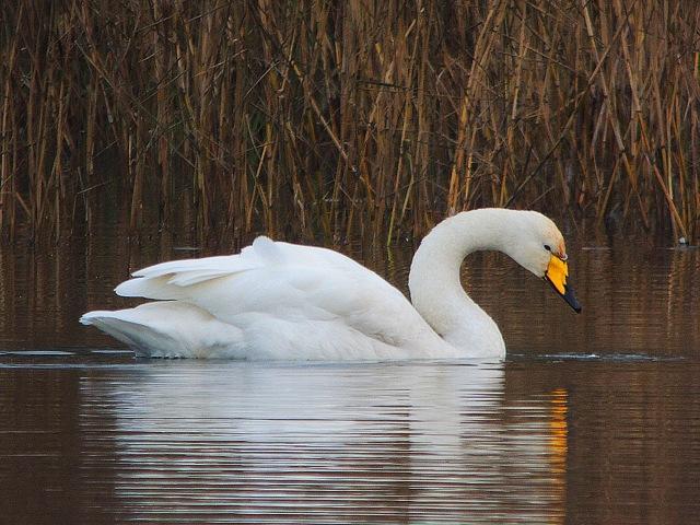Whooper Swan, Sywell CP, 18th December 2016 (Mike Alibone)