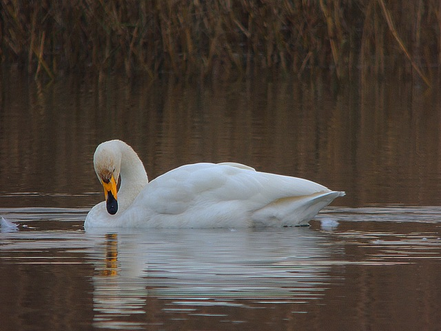 Whooper Swan, Sywell CP, 18th December 2016 (Mike Alibone)