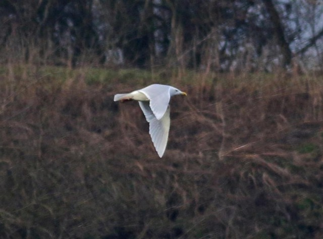 Adult Glaucous Gull, Chacombe, 22nd January 2017 (Mike Pollard)