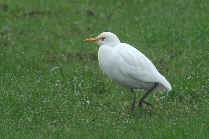 Cattle Egret, Whiston, 7th January 2017 (Bob Bullock)