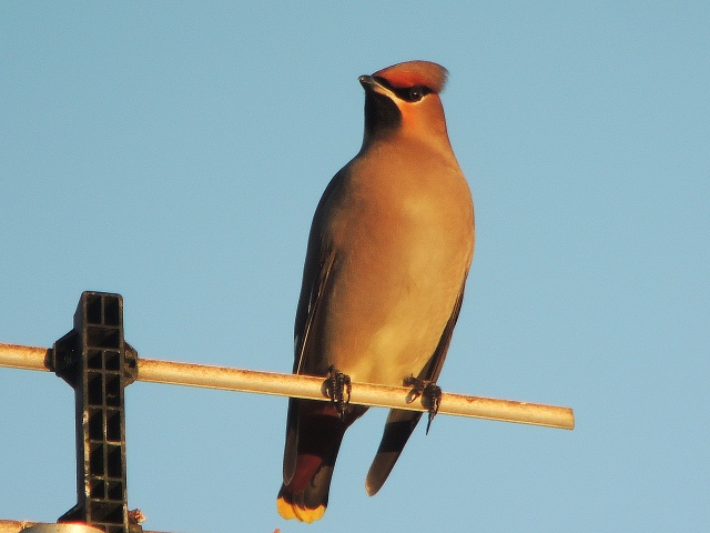 Female Waxwing, Roade, 29th December 2016 (Mike Alibone)