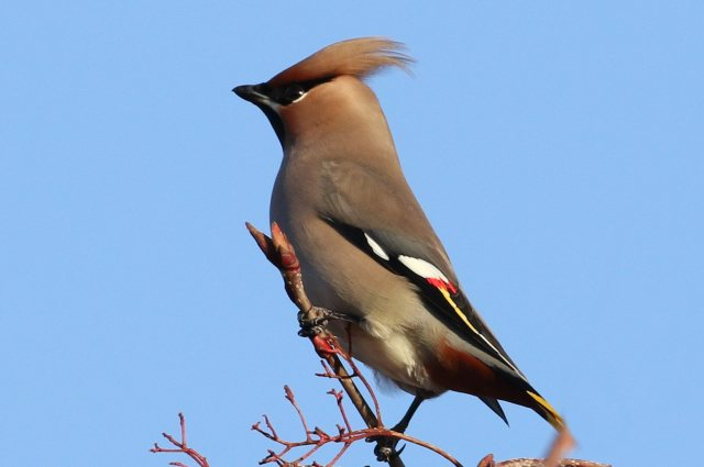 First-winter male Waxwing, Woodford Halse, 26th December 2016 (Bob Bullock)