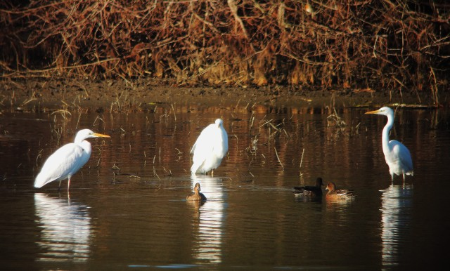Great White Egrets, Ravensthorpe Res, 2nd January 2017 (Mike Alibone)